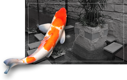 colorful koi fish in black and white koi pond background