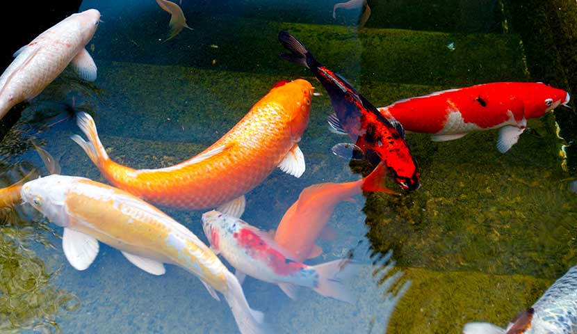 7 koi fish in koi pond