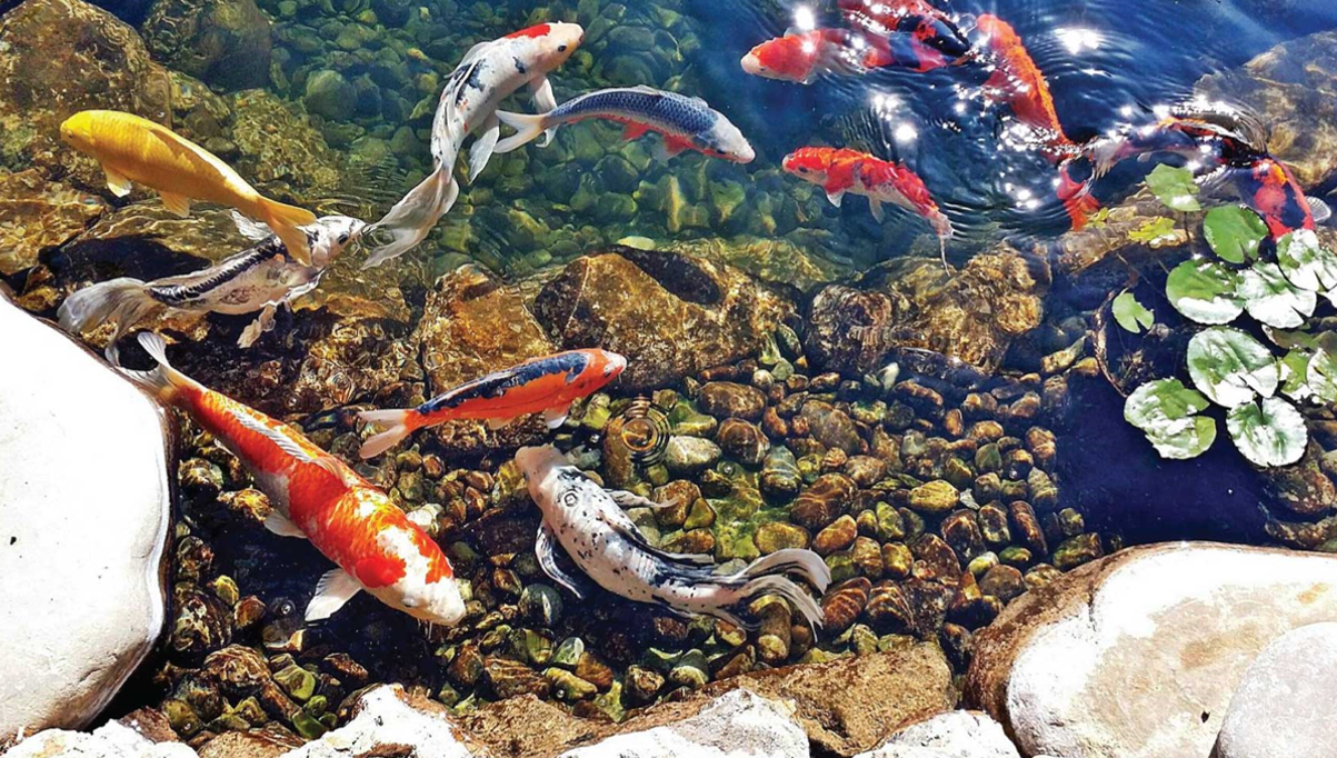koi fishes in koi pond