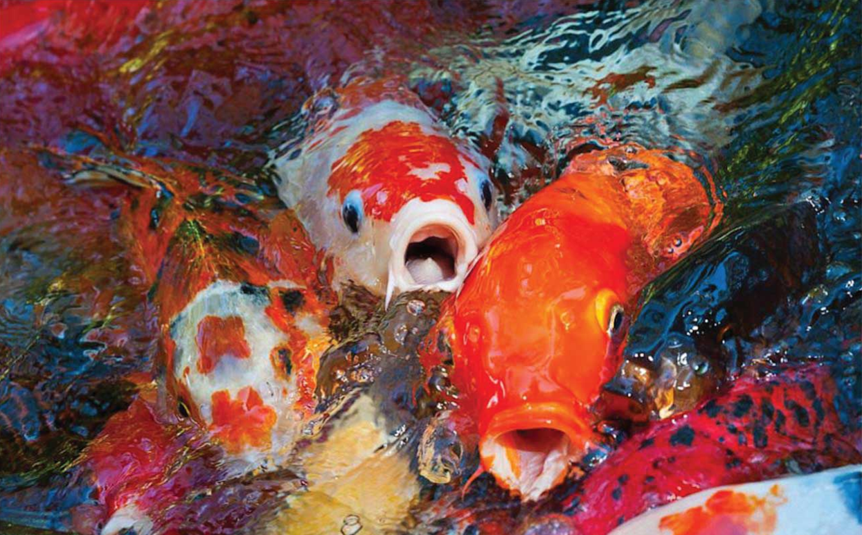 koi-fish-in-koi-pond